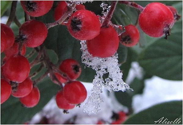 Cotonneaster-sous-la-neige--Dec--2010.jpg