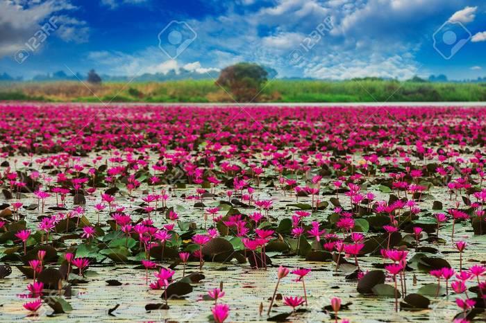 Lotus fleur du coeu
