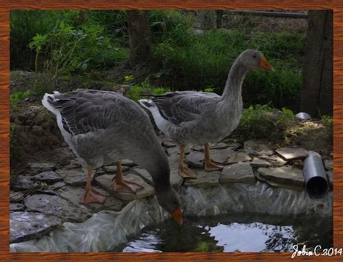 Les oies au bassin