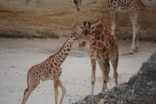 (10) La girafe d'Afrique Centrale.