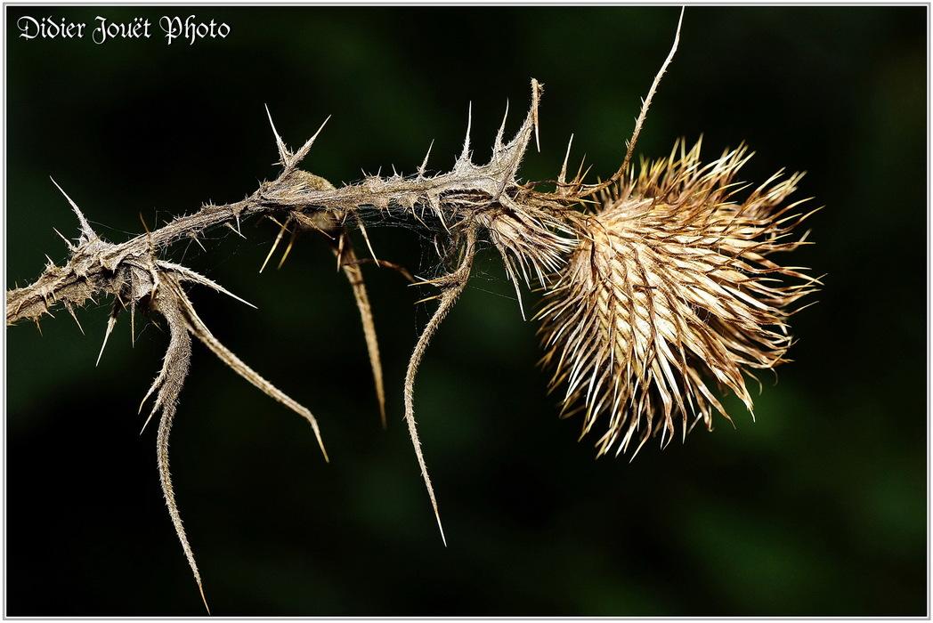 Cirse Commun / Cirsium vulgare