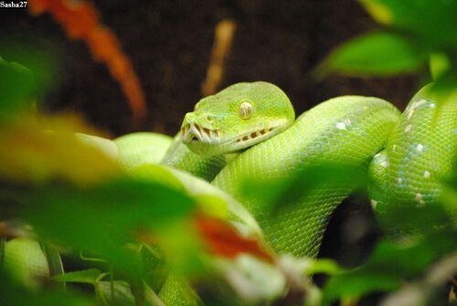 Le Python Vert.