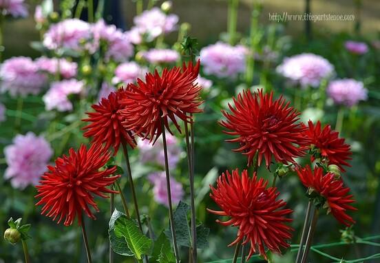 Résultat d'images pour photos dahlias blog Une fleur de Paris