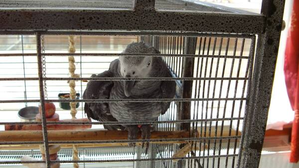 La maîtresse de ce perroquet est décédée. Qui peut s'occuper de lui ?