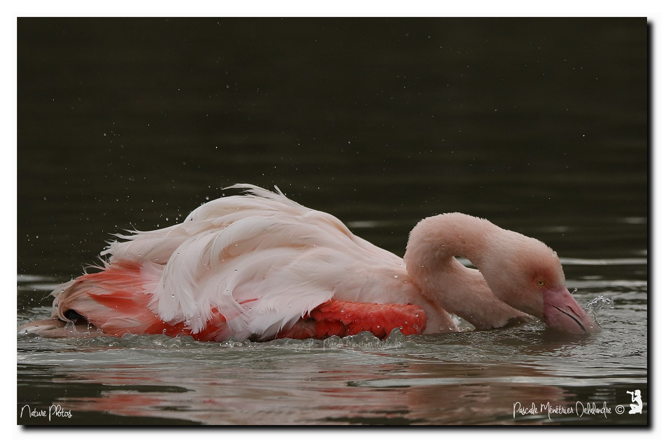 La toilette du Flamant rose