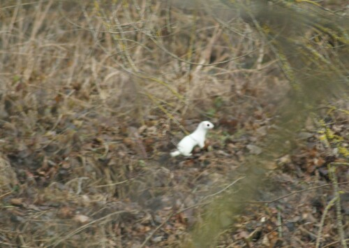 une hermine blanche au bord de l'Allagnon.31.01.2017