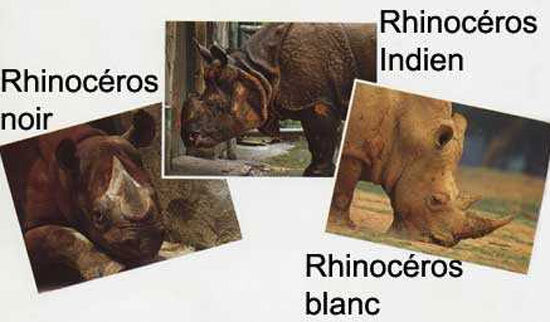 Comparatif des espèces de rhinoceros