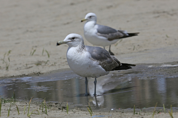 California Gull - Long Beach