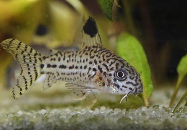 Cory léopard