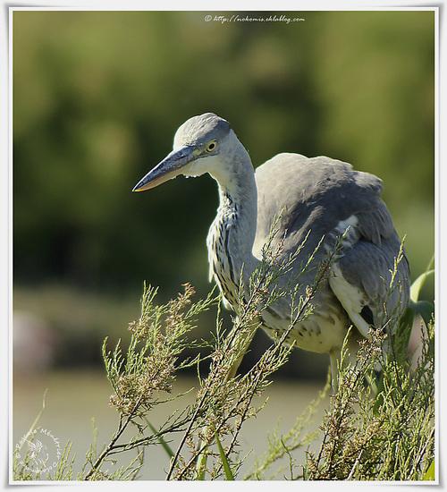 Héron cendré - Ardea cinerea - Grey Heron