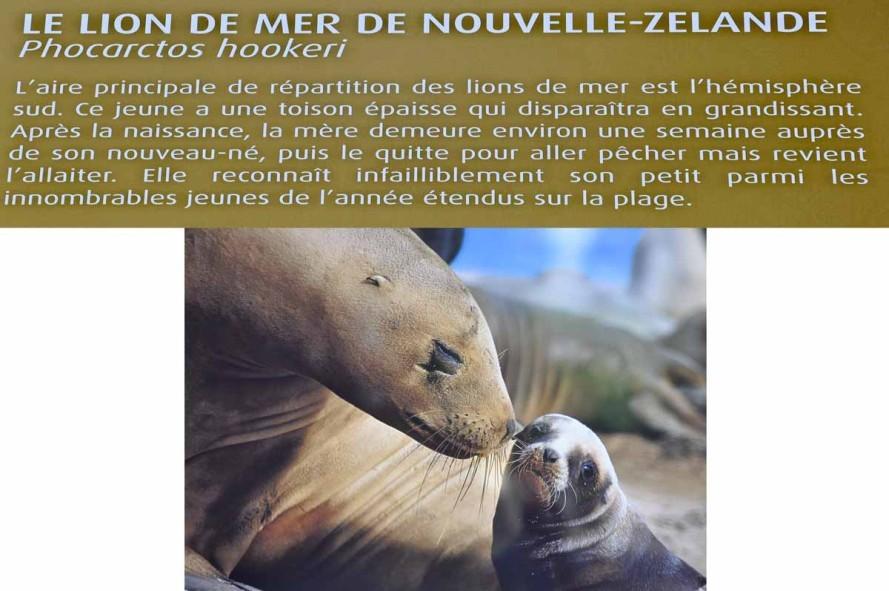 lion de mer-1