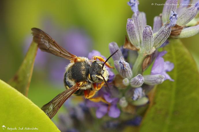 Anthidium ♀ (Megachilidae)