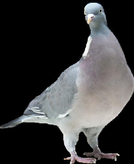 Colombes et Pigeons Série 3
