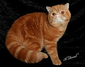 cats exotic shorthair