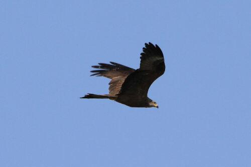 Milan Noir (Black Kite)