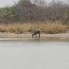303 Bénin Pendjari Autour de la mare Bali une grande antilope