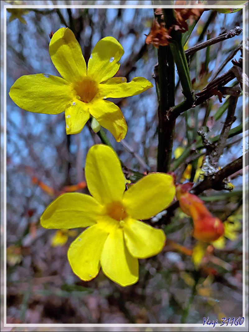 Le printemps étant (presque) arrivé, de la flore cultivée à la sauvage, les petites fleurs sont partout - Lartigau - Milhas - 31