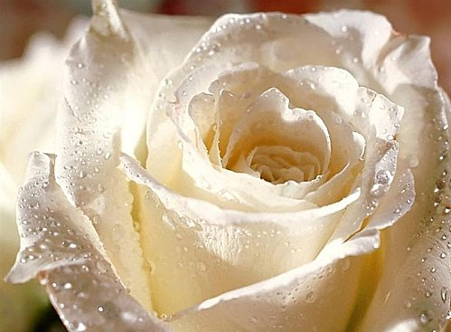 rose-blanche--Medium-.jpg