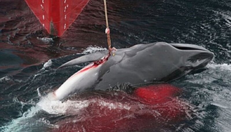 Le Japon reprend la pêche commerciale à la baleine, une pratique historique