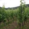 Vignes alsacienne