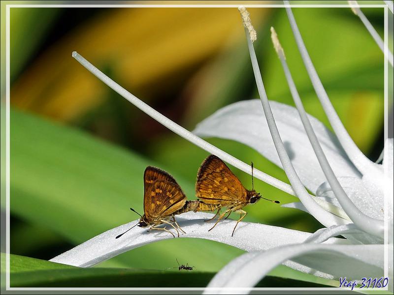 Papillons hespérides : les amoureux aiment le blanc... - Nosy Be - Madagascar