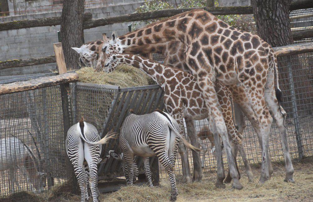 Les girafes, au zoo de La Teste...