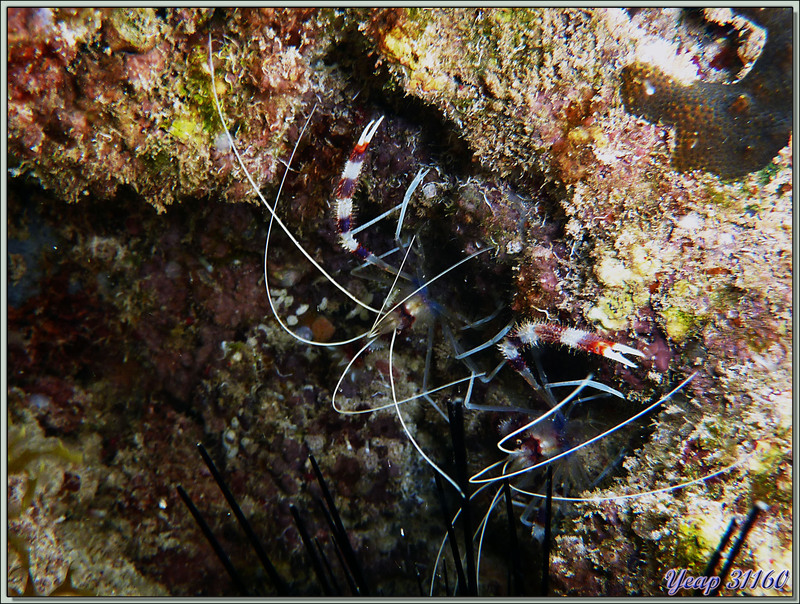 Grande crevette nettoyeuse (Stenopus hispidus) - Anse Marie-Louise - Mahé - Seychelles