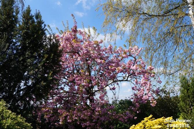 Floraison du cerisier du Japon