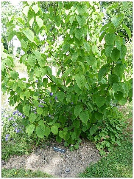 davidia-involucrata-ou-arbre-a-mouchoir--chine--copie-2.jpg