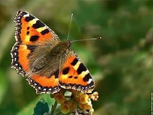 papillon-petite-tortue-p1100693.jpg