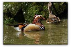 Canard mandarin - Parc des oiseaux