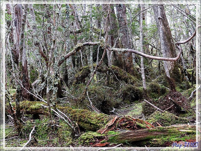 La forêt magellanique est presque impénétrable - Glacier Aguila - Terre de Feu - Patagonie - Chili
