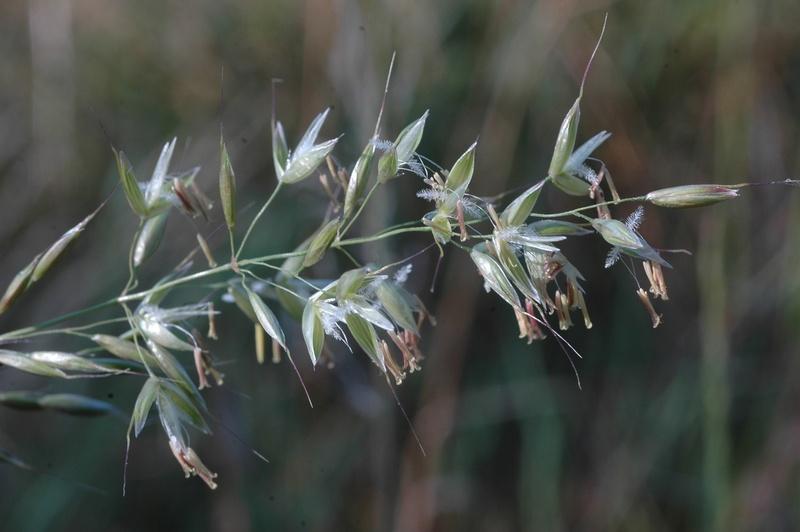 fleur de graminée