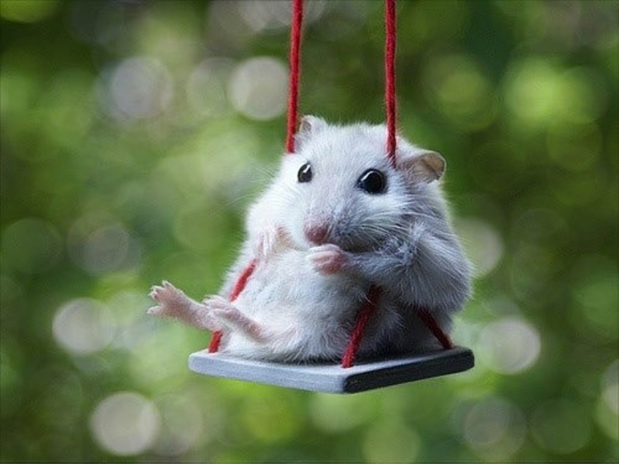 August-18-2011-20-02-35-funny-cute-hamster-swing