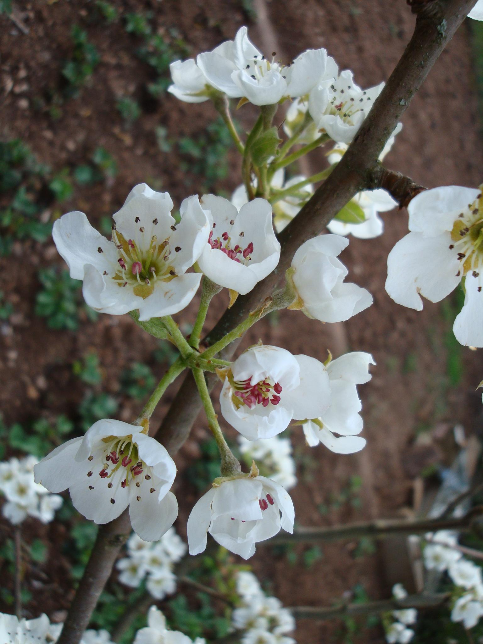 Printemps des fleurs de - Fleurs roses de printemps ...