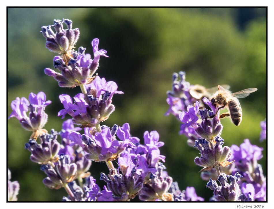 Lavandes et abeilles
