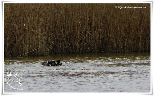 Canards colverts - Anas platyrhynchos