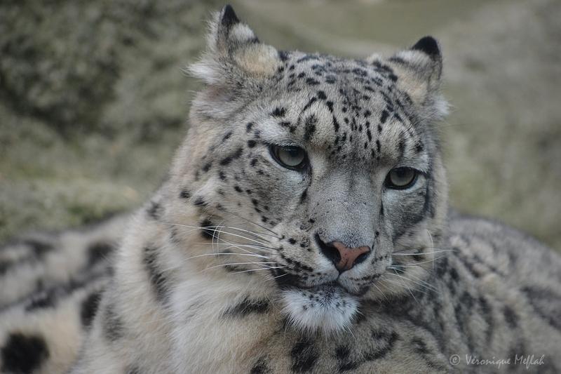 La Ménagerie, le zoo du jardin des Plantes : Panthère des neiges
