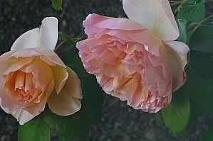 Eau de rose rafraîchissante :