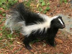 Le sconse (skunks ) .