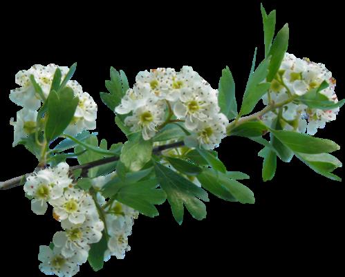 Tube fleur d'Aubépine