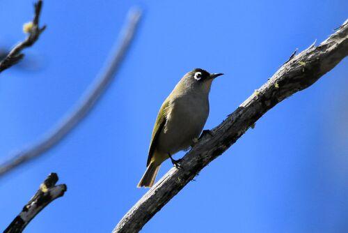 Zostérops de la Réunion (Reunion Olive White-eye)