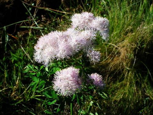 Les belles fleurs d'alpage,