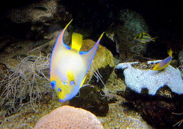 Poisson ange royal