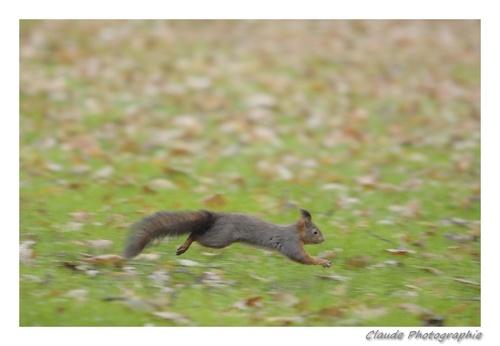 Écureuil...
