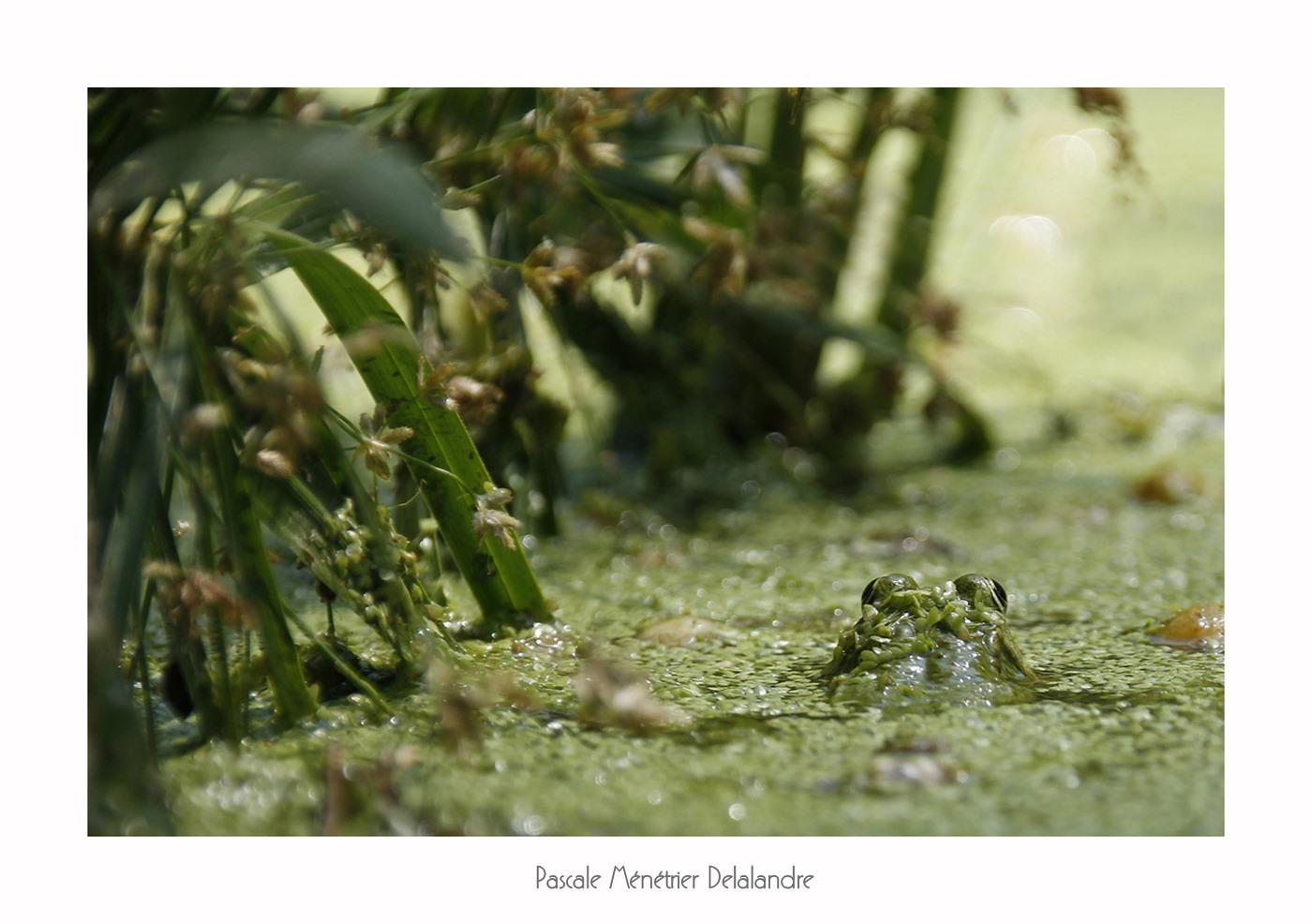 Cachées dans les lentilles d'eau, les Grenouille Pelophylax sp.