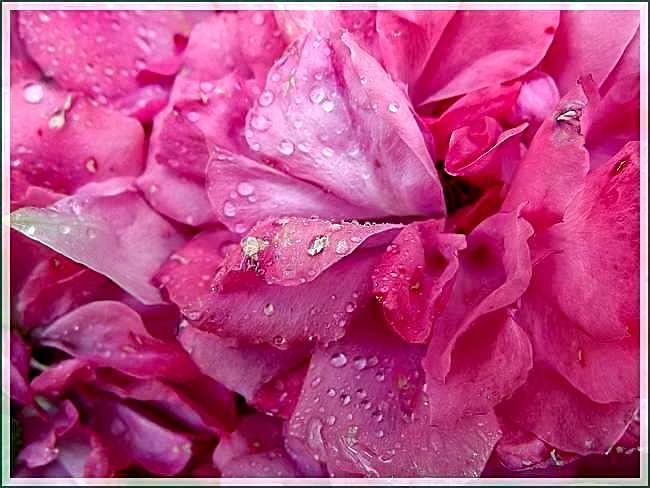Le parfum des roses fanées