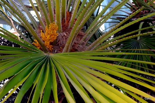 Une feuille du palmier