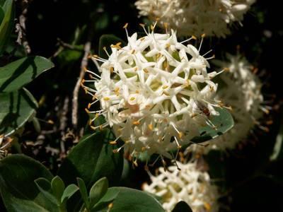 Blog de beaulieu : Beaulieu ,son histoire au travers des siècles, Fleurs d'Australie.suite