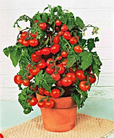 des tomates en pot sur le balcon le jardin de jean marie. Black Bedroom Furniture Sets. Home Design Ideas